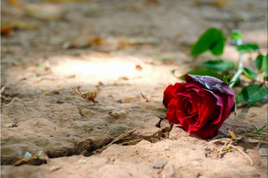 قطع هزاران گل رز در ژاپن برای مقابله با کرونا