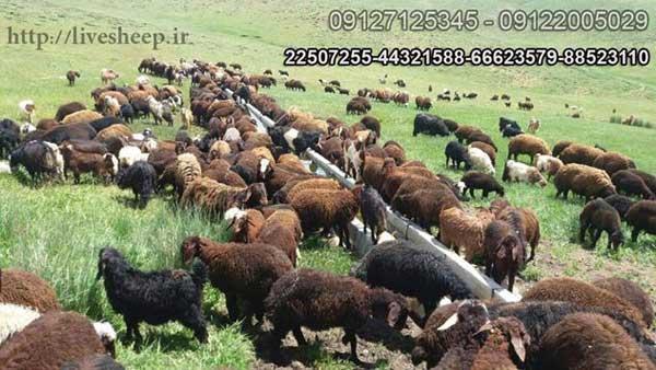 عرضه انواع دام و گوسفند زنده در تهران توس لایو شیپ