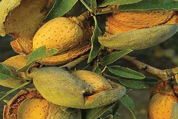 یک شرکت دانش بنیان درخت بادام مقاوم به کم آبی فراوری کرد